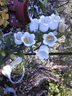 白色咲きました